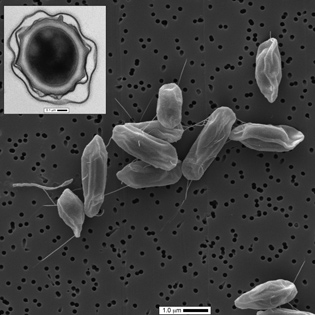 Non-Toxin-Producing Bacillus cereus Strains Belonging to the B. anthracis Clade Isolated from the International Space Station